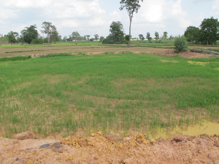 Rice field with water from klong during temporary rain stoppage during rainy season.